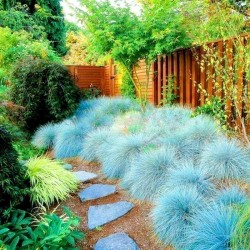 Blue Grass Seeds Festuca Glauca Intense Blue