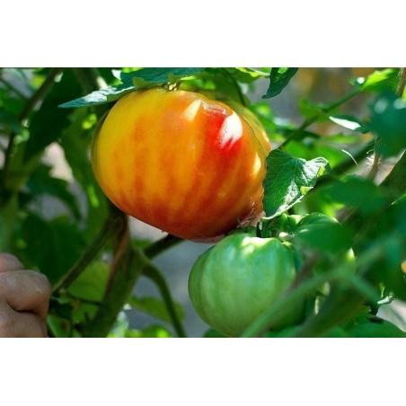 BIG RAINBOW Tomaten Samen Saatgut