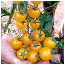 Graines de Tomate cerise jaune GOLDKRONE