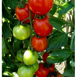 Graines de Tomate Moneymaker
