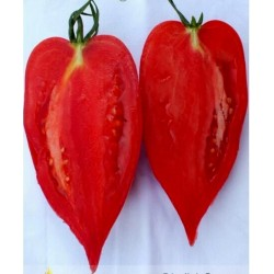 Andenhorn - ANDINE CORNUE Tomatensamen