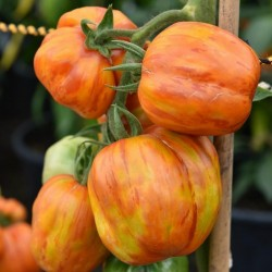 STRIPED STUFFER Tomatensamen