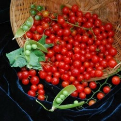 SWEET PEA CURRANT Rote Cherry Tomate Samen