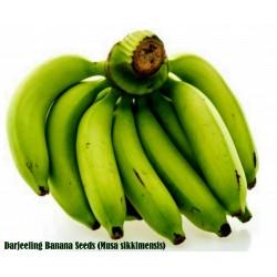 Graines de Bananier Darjeeling