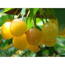 Yellow Sweet cherry Seeds(Prunus avium)
