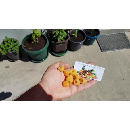 Yellow Raspberry Seeds Tasty Fruit