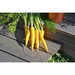 Solar Yellow Carrot 14000 Seeds