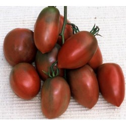 PURPLE RUSSIAN - UKRAINIAN PURPLE Tomato Seeds Russian Heirloom