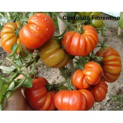 Tomatensamen Riesentomate COSTOLUTO FIORENTINO