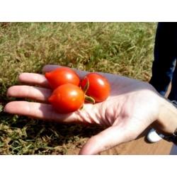 FIASCHETTO Tomato Seeds
