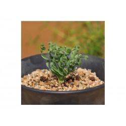 Graines Herbe Spirale Succulente (Moraea tortilis)