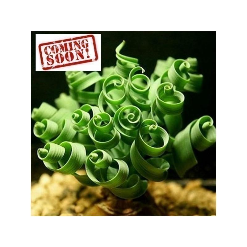 Spring Grass Spiral Grass Seeds (Moraea tortilis)