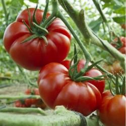 Tomatensamen MARMANDE Fleischtomate