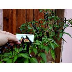 Semi Di Peperoncino Cayenne purple