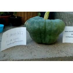 Pumpkin seeds Queensland Blue