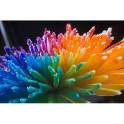 Rainbow Chrisanthemum Seeds