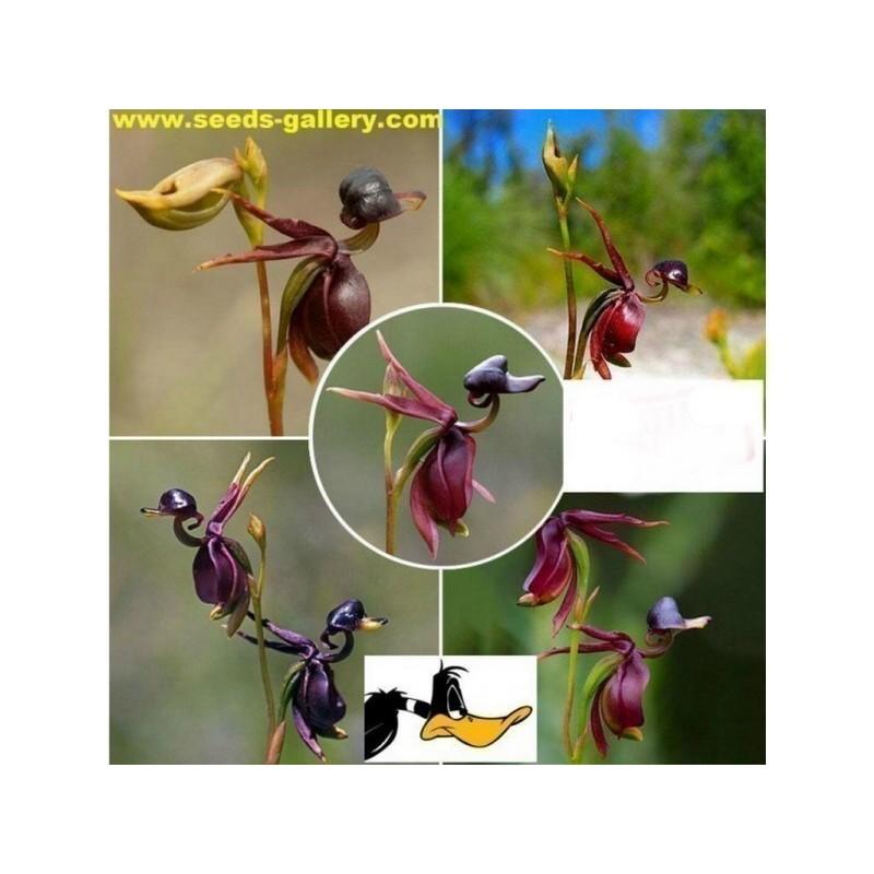 LETECA PATKA Orhideja Seme
