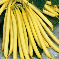 Berggold Early Dwarf French Bean Seed