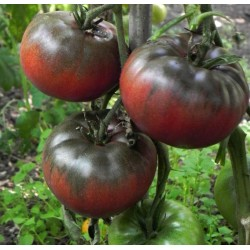 Tomato Seeds BLACK FROM TULA
