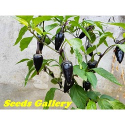 Graines de Piment Serrano Purple Chilli