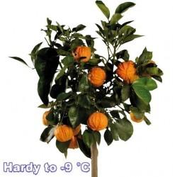 KIKU-DAIDAI Orange Seeds (Citrus canaliculata)