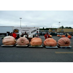 Riesenkürbis Samen Atlantic Giant (824.86 kg)