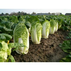 Chinese Cabbage Seeds Michihilli