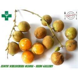 Cejlonski Hrast Seme – Egzoticno i Zdravo Voce