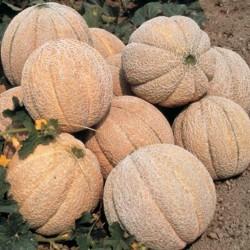 Semillas de melón Superstar