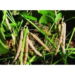 Adzuki Bean Finest Seeds (Vigna angularis)