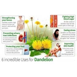Common Dandelion Seeds Medical Herb (Taraxacum officinale)