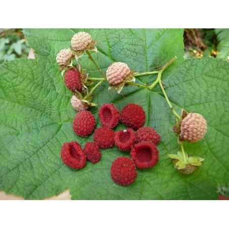 Purple Flowered Raspberry Seeds (Rubus Odoratus)