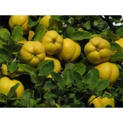 Quince tree seeds,Cydonia oblonga 10 seeds
