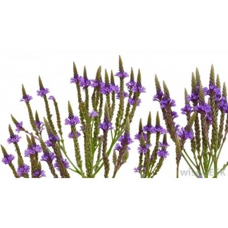 Σπόροι Βερβένα - Ιεροβότανο βότανο (Verbena officinalis)