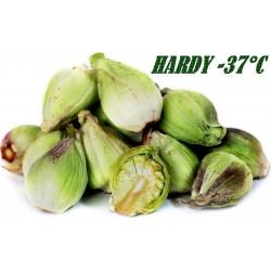 Butterbur Sprout Seeds (Petasites hybridus)