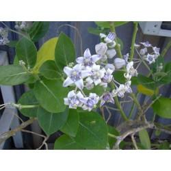 Crown Flower Seeds (Calotropis gigantea)
