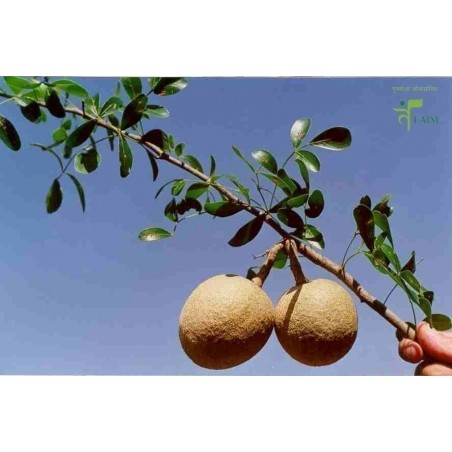 Wood Apple - Elephant Apple Seeds (Limonia acidissima)