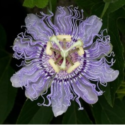 Maypop, Purple Passionflower Seeds (Passiflora incarnata)