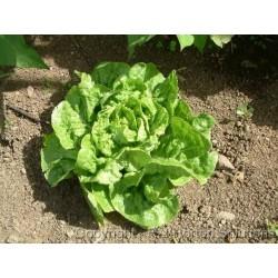 Salatsamen 'Green Mignonette' Butterhead