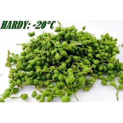 Nepal Pepper, Winged Prickly Ash, Seeds (Zanthoxylum armatum)