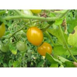 Semillas de Tomate salvaje Galapagos RARO (Lycopersicon cheesmanii)