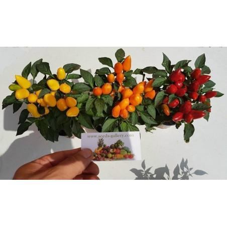 Bolivian Mini Chili Seeds