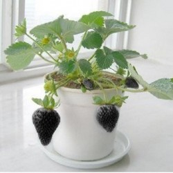 Exotic Rare Black Strawberry Seeds