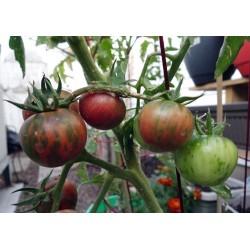 Tomatensamen aus Russland//Ukraine Tomate RUSLAN