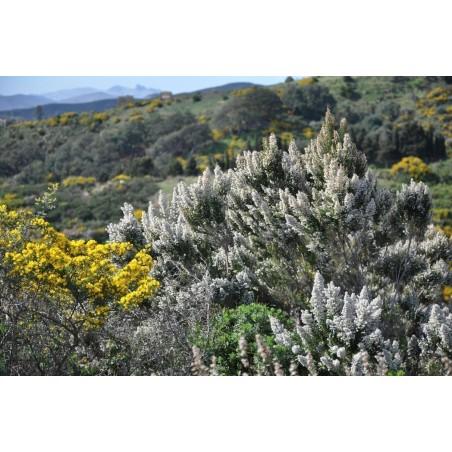 Tree Heath Seeds (Erica arborea)
