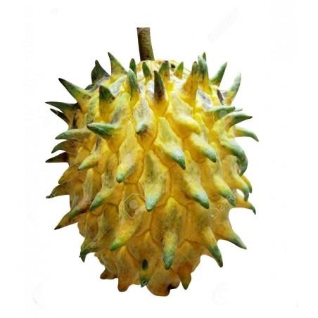 Biriba, Wild Sugar-Apple Seeds (Rollinia deliciosa)