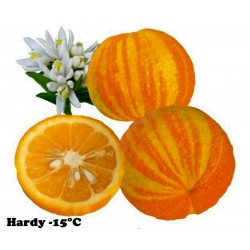 Striped Orange, Seville-Orange Seeds (Citrus aurantium fasciata)