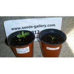 Noni Seeds (Morinda citrifolia, Rubiaceae)