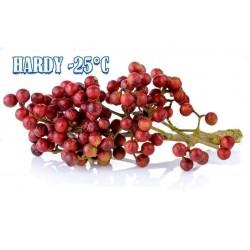 Sementes de Pimenta-japonesa, Sansho (Zanthoxylum piperitum)