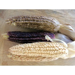 Semillas de Maíz Tunicado (Zea mays tunicata)